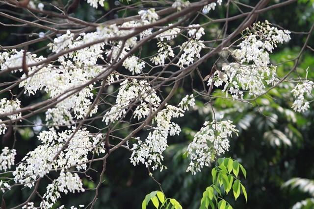 Dịu dàng mùa hoa sưa Hà Nội
