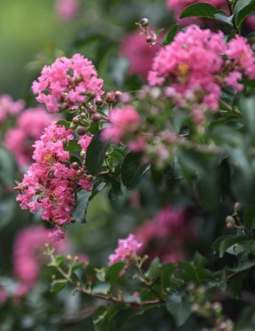 Ngắm con đường hoa tường vi nở rộ ở Hà Nội