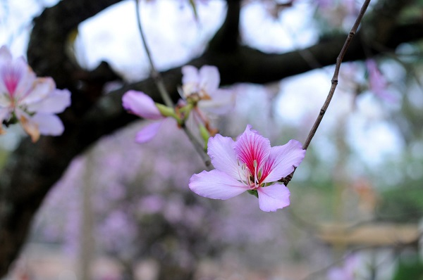 Tháng Ba, ngẩn ngơ trước sắc tím hoa ban
